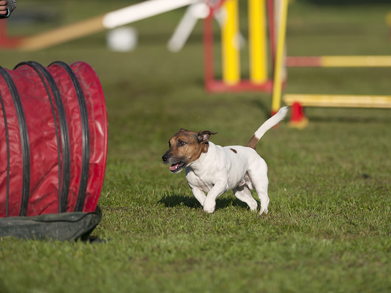 Jack Russell Terrier running on agility competition, he is on th