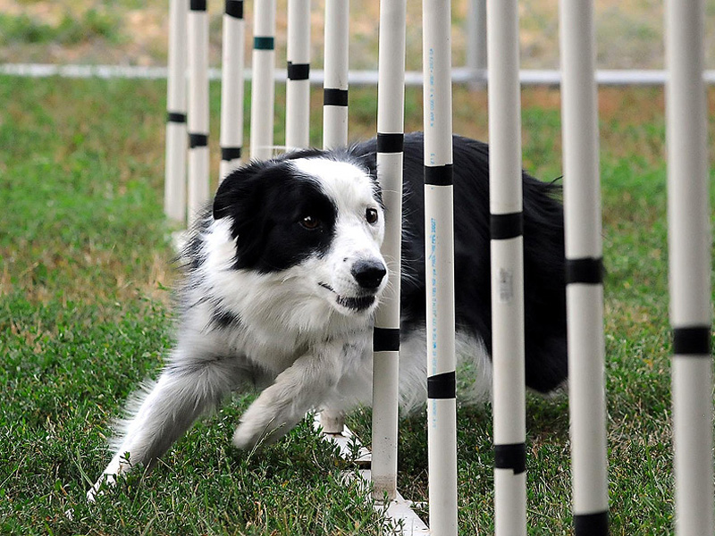 Sport, a border collie owned by Joni Steinbach of New Ulm, Minn., races through weave poles that are part of an agility course on July 23, 2012. The love and loyalty aspect of agility training is a big part of what Steinbach and Sport get out of the constant training they do at home in their backyard agility course, as well as the numerous competitions they compete in throughout the year from the local to national levels.  (AP Photo/The Mankato Free Press, John Cross )