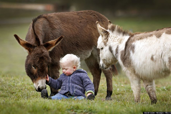 """Editorial Use Only.Consent Required for Commercial Use and Book PublicationsMandatory Credit: Photo by David Caird/Newspix/Rex / Rex USA (1464647i)15-month-old Jack Johnston plays with micro miniature donkeys called 'Snuggle Pot' and 'Livingstone' at Amelia Rise DonkeysMicro miniature donkeys in Yea, Australia - 09 Jul 2013These miniature donkeys are so cute it's no surprise to learn that their names include Snuggle Pot and Cuddle Pie! The adorable donkeys stand less than 76cm tall and live at the Amelia Rise Donkeys centre in Yea, Australia. And they are certainly a huge hit with the children of the local area, including 15-month-old neighbour Jack Johnson who loves to share a cuddle with Cuddle Pie. According to breeder Deb Hanton the mini donkeys are fast gaining a reputation as being lovable pets. She says: """"They are always by your side and they love being cuddled. It is really like they are little labradors""""."""